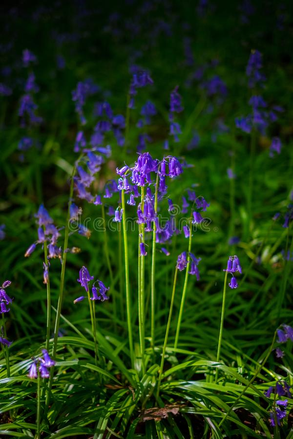 Blooming Bluebells flower in spring, United Kingdom. Blooming Bluebells or Hyacinthoides non-scripta flower at Middleton Park in spring, Leeds, United Kingdom stock image