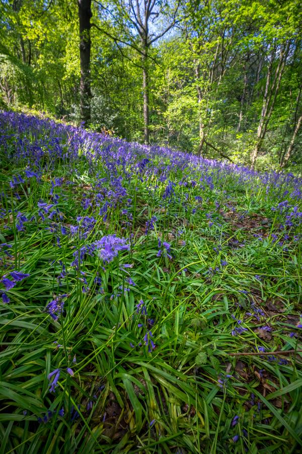 Blooming Bluebells flower in spring, United Kingdom. Blooming Bluebells or Hyacinthoides non-scripta flower at Middleton Park in spring, Leeds, United Kingdom royalty free stock photos