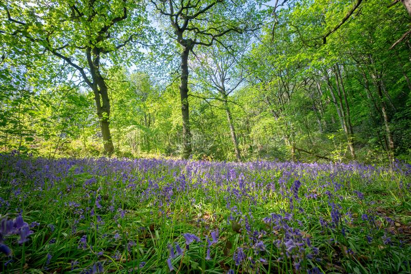 Blooming Bluebells flower in spring, United Kingdom. Blooming Bluebells or Hyacinthoides non-scripta flower at Middleton Park in spring, Leeds, United Kingdom stock images