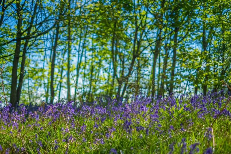 Blooming Bluebells flower in spring, United Kingdom. Blooming Bluebells or Hyacinthoides non-scripta flower at Middleton Park in spring, Leeds, United Kingdom royalty free stock images