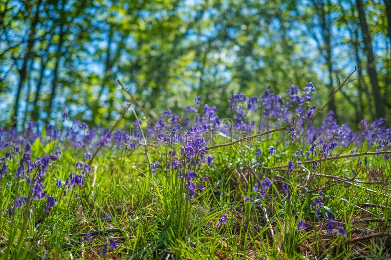 Blooming Bluebells flower in spring, United Kingdom. Blooming Bluebells or Hyacinthoides non-scripta flower at Middleton Park in spring, Leeds, United Kingdom stock photography