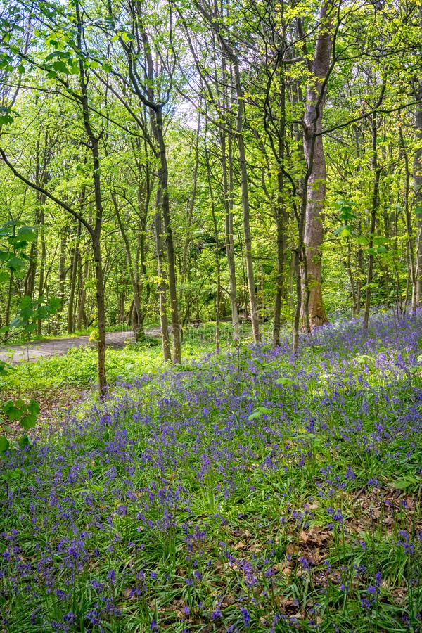 Blooming Bluebells flower in spring, United Kingdom. Blooming Bluebells or Hyacinthoides non-scripta flower at Middleton Park in spring, Leeds, United Kingdom stock photo