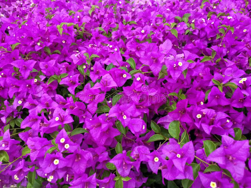 Blooming bougainvillea flowers background. Bright pink magenta bougainvillea. For design royalty free stock photos