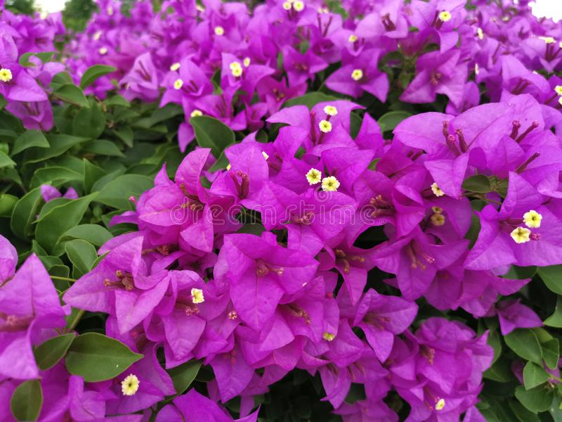 Blooming bougainvillea flowers background. Bright pink magenta bougainvillea. For design stock images
