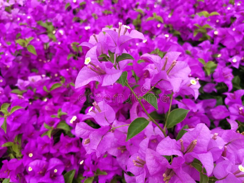 Blooming bougainvillea flowers background. Bright pink magenta bougainvillea. For design stock image