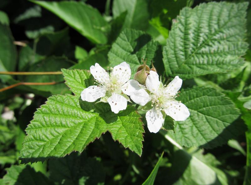 Blooming bramble. Close photo of white blooms of bramble stock photo