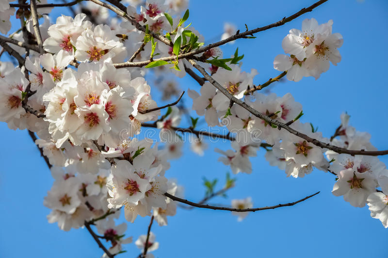 A blooming branch of almond tree in spring. blossoming tree brunch with white and pink flowers on blue sky background. royalty free stock image