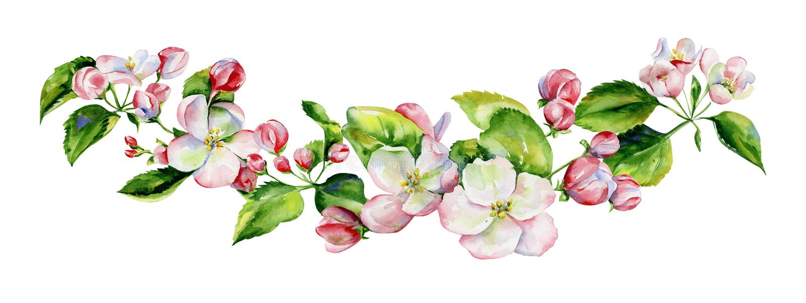 A blooming branch of apple tree in spring watercolor. royalty free illustration