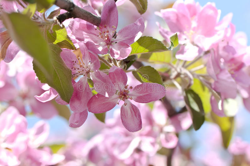 Blooming branch of fruit tree stock photo