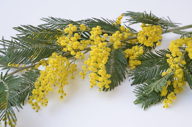 Blooming branch of Mimosa with yellow flowers at white royalty free stock image