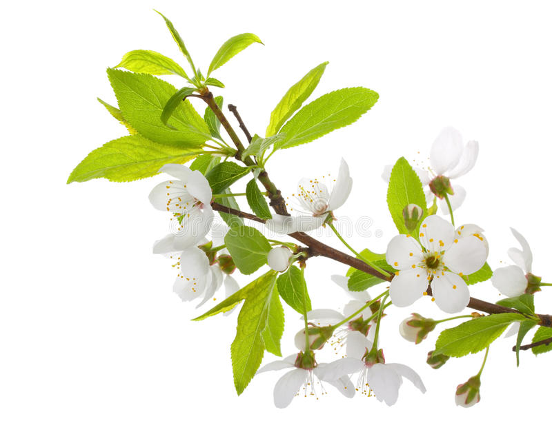 Download Blooming Branch Of Plum Tree Stock Image - Image: 22808673