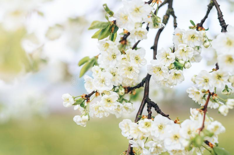 Blooming branches of the plum tree with white flowers in the orchard stock image