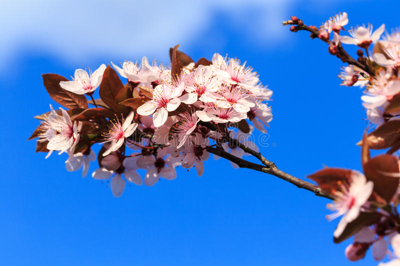 Blooming branches in Spring royalty free stock photography