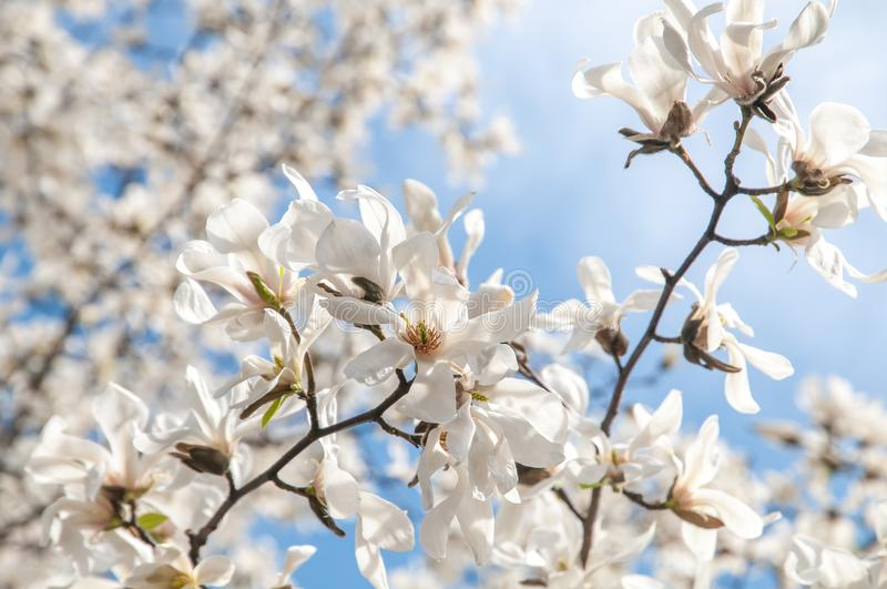 Blooming branches of White Magnolia against blue sky stock photography