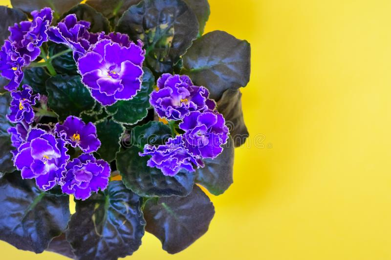 Blooming bright purple African violet flower on yellow  background. Top view with copy space stock image