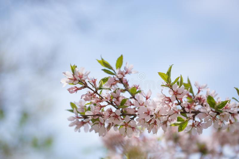 Blooming brunch on blue sky background. Spring blossom theme stock image
