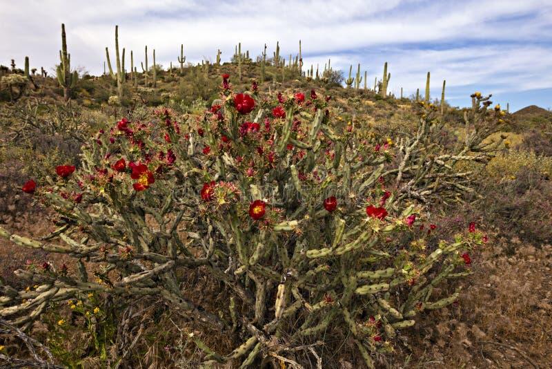 Buckhorn Cholla at sunset. Blooming Buckhorn Cholla and Saguaro in Sonoran Desert royalty free stock photos