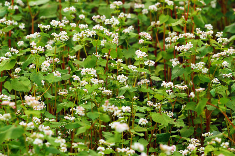 Blooming buckwheat Fagopyrum esculentum stock image