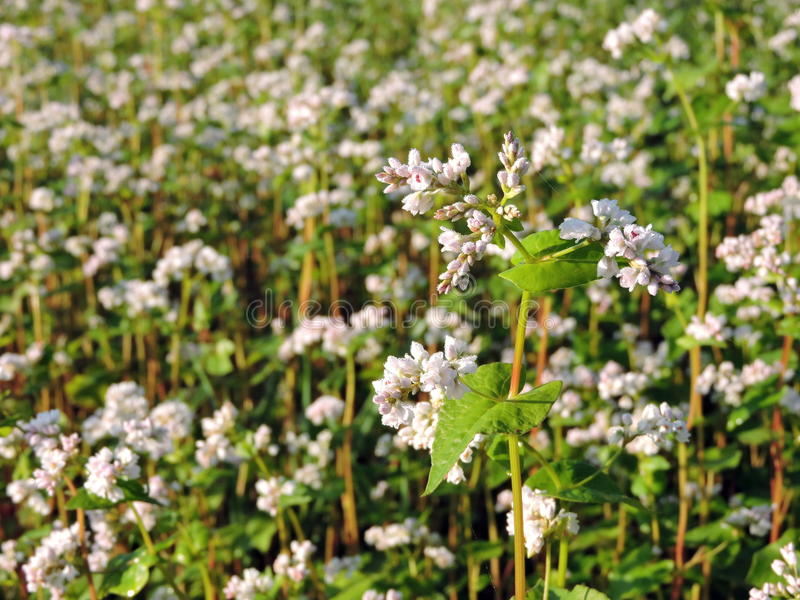 Blooming buckwheat field stock photo