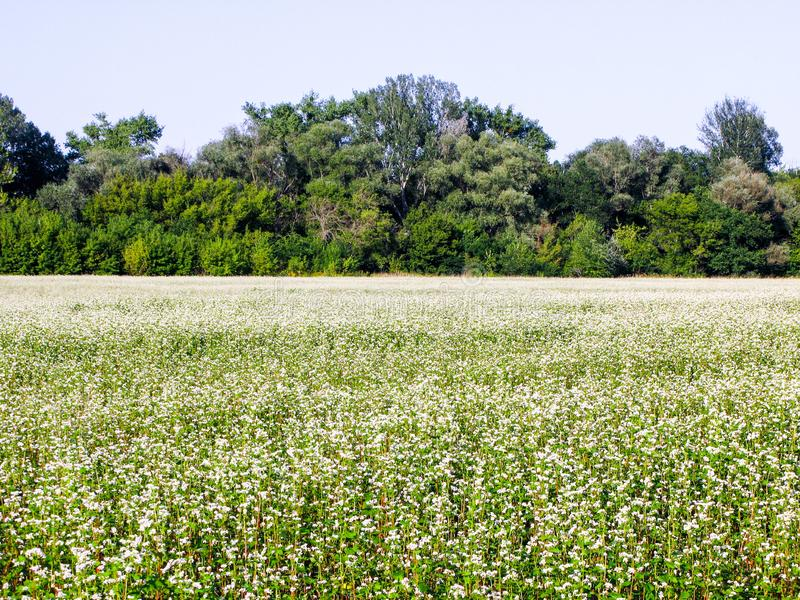 Blooming buckwheat field royalty free stock photo