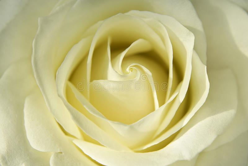 Blooming bud of light yellow rose close up stock photography