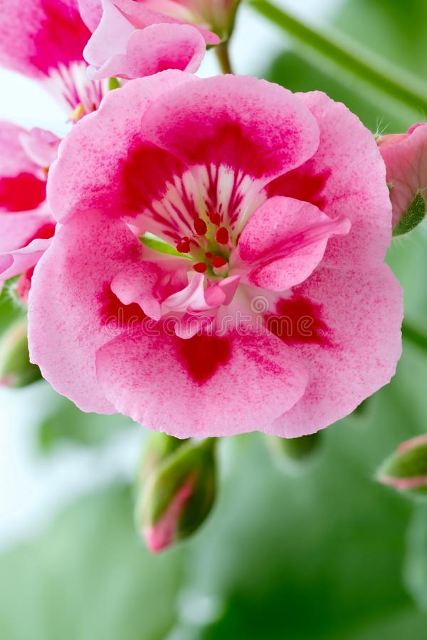 Blooming bud of perennial geranium flowers in the summer garden royalty free stock images