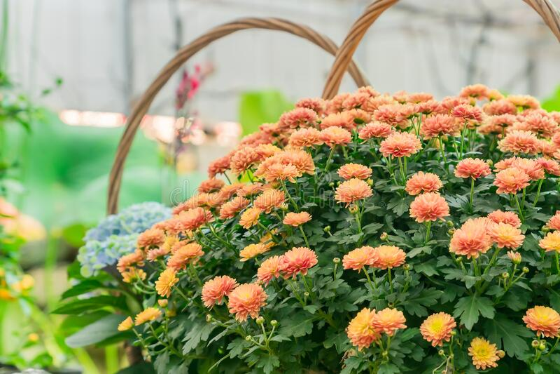 Blooming bush of orange chrysanthemum in wicker basket. Autumn flowers stock photography