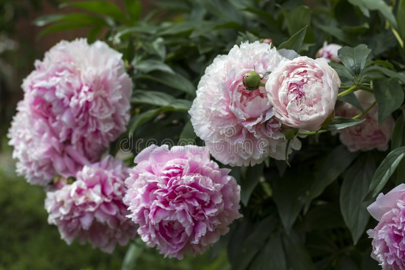 Blooming bush pink peonyies in the summer garden royalty free stock images