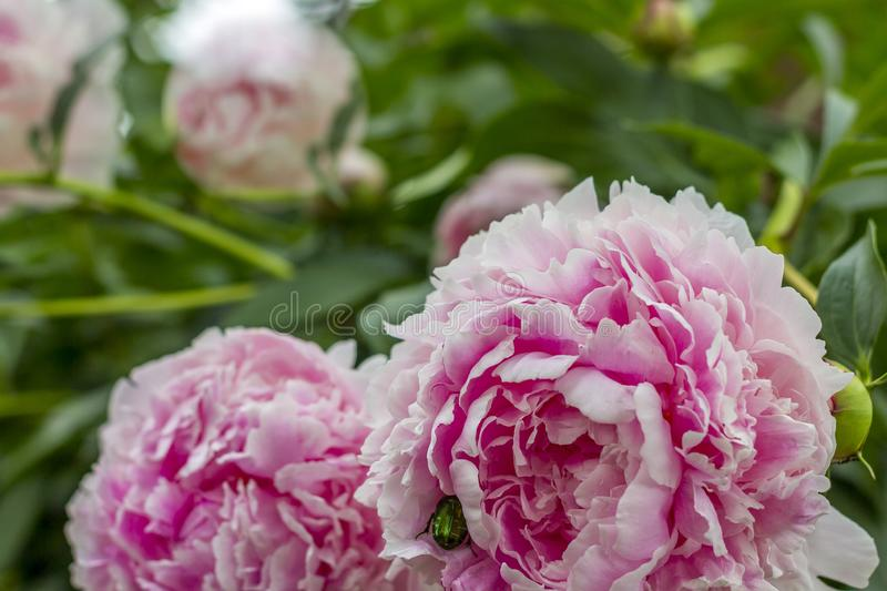 Blooming bush pink peonyies in the summer garden stock photos