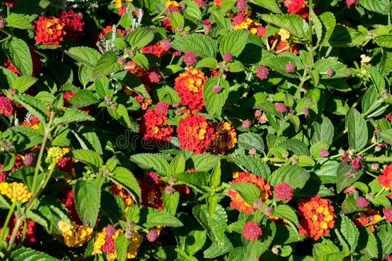 Blooming bush red lantana grenadine in spring. In a sunny day stock images