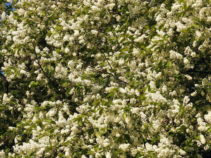 Blooming bush in spring in park, Lithuania stock photos