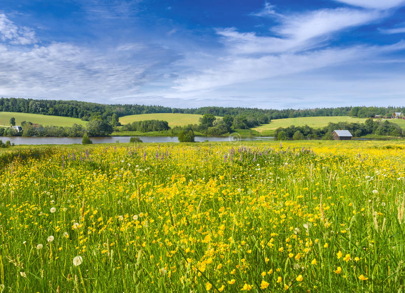 Blooming buttercups. Muranovo, Moscow region of Russia stock images
