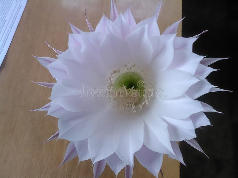 The blooming cactus. A big white flower with a green core close up on the edge of the table royalty free stock photos