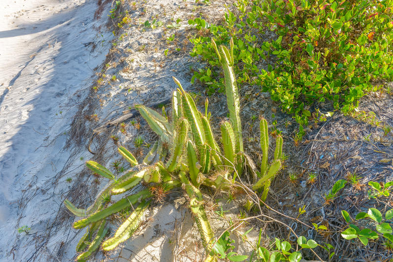 Blooming cactus with cobwebs by the sandy beach. In Brazil royalty free stock image