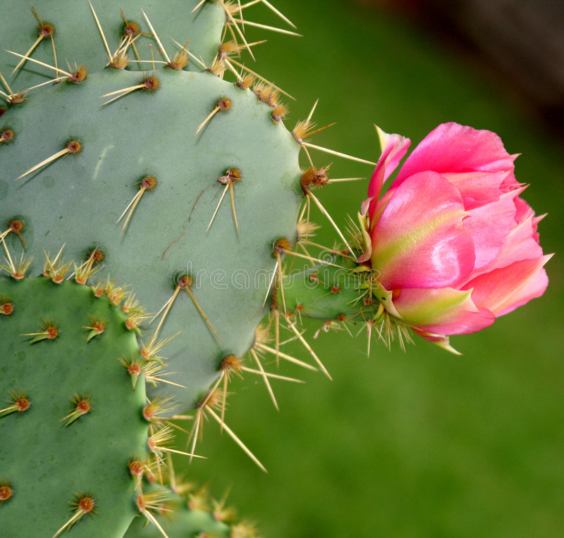 Blooming cactus flower stock image