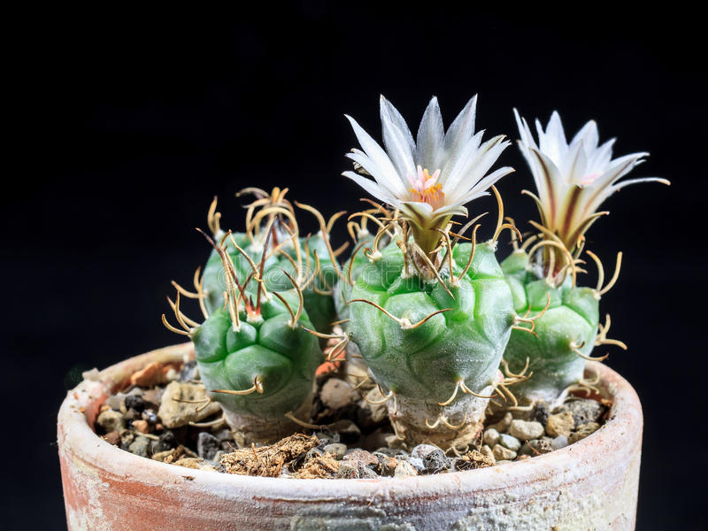 Download Blooming Cactus Stock Photo - Image: 42143343