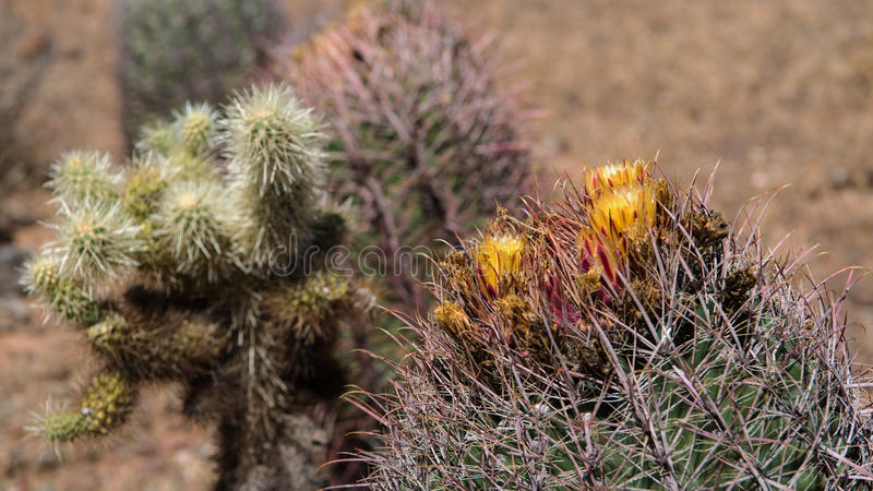 Blooming Cactus at the Phoenix Sonoran Preserve. Blooming Fishhook Barrel Cacti & x28;Ferocactus wislizenii& x29; and Teddy-Bear Chollas & x28;Cylindropuntia royalty free stock photo