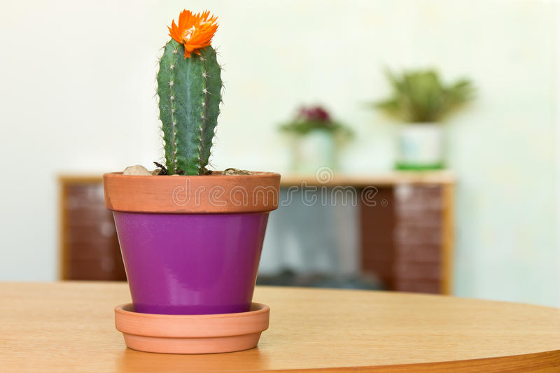 Blooming cactus plant in a flowerpot and other indoor flowers. At home stock photo