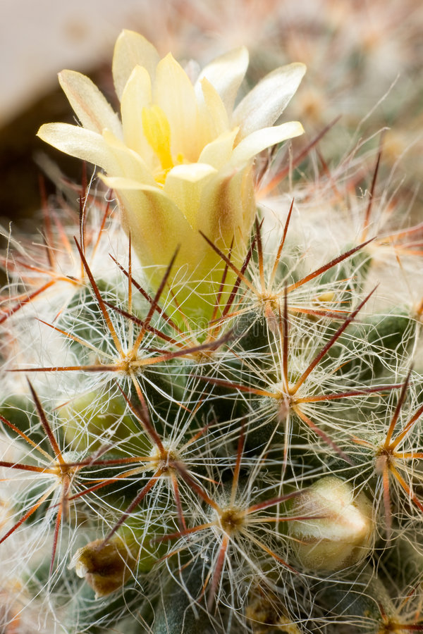 Download Blooming cactus, vertical stock photo. Image of shot, macro - 7580680