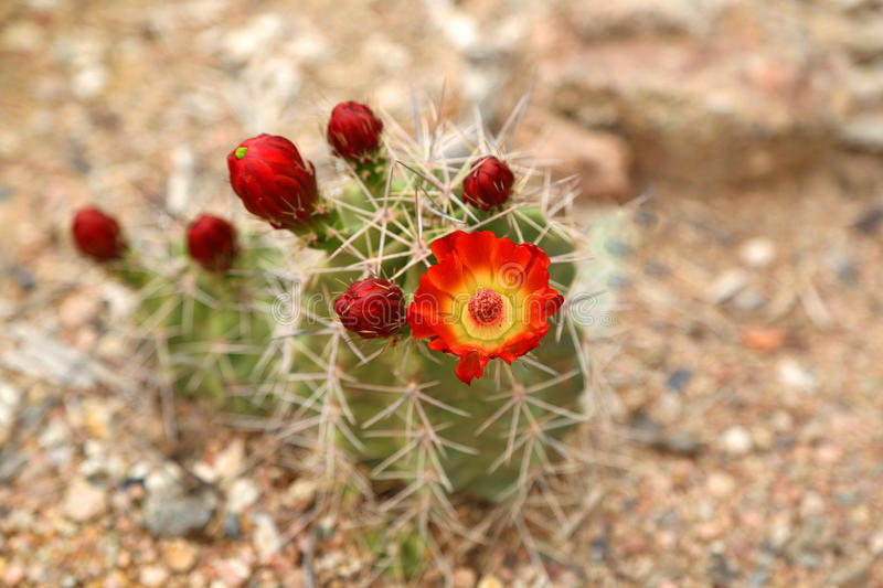 Blooming cactus. Vibrant blooming orange flower from a cactus plant in the spring stock image