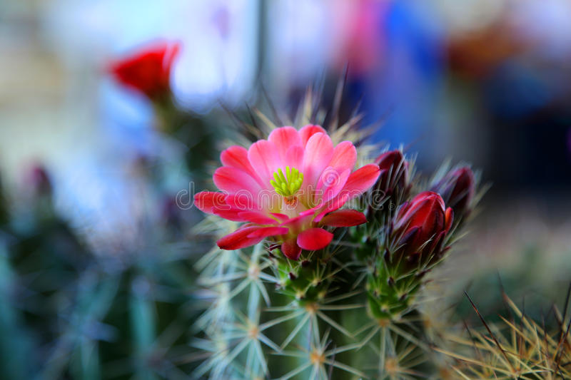 Blooming cactus. Vibrant blooming pink red flowers from a cactus plant royalty free stock photography