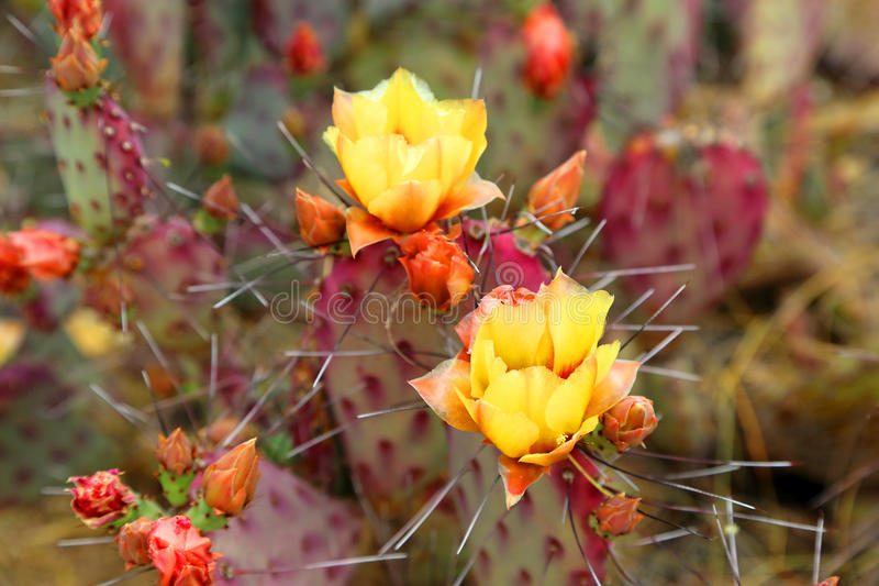 Blooming cactus. Vibrant blooming yellow flower from a cactus plant in the spring stock photo