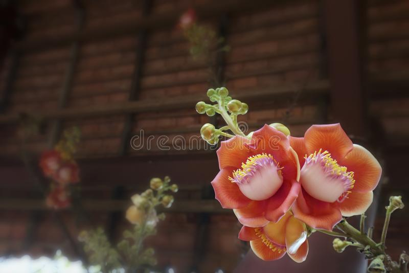 Blooming cannon ball tree, this flower`s scientific name is couroupita guianensis. Flower of religion and is grown in the tropics stock photography