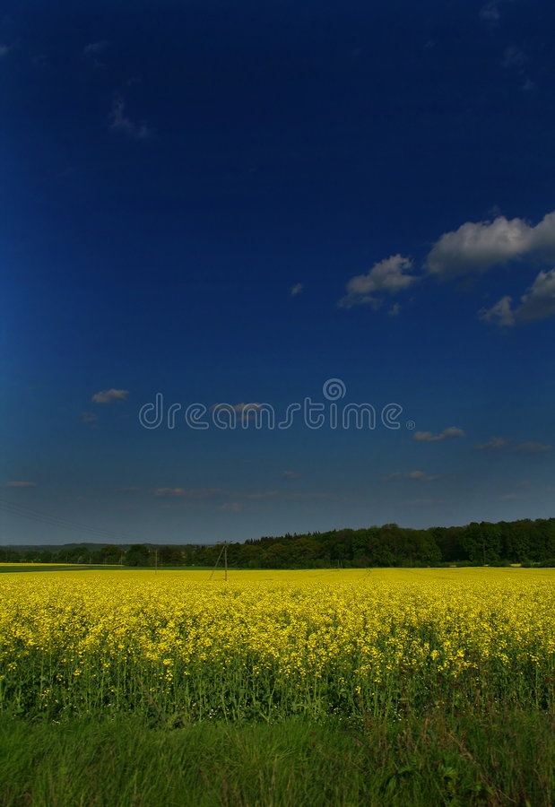 Download The blooming canola stock photo. Image of countryside - 1014394