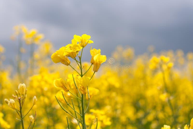 Blooming canola closeup stock image