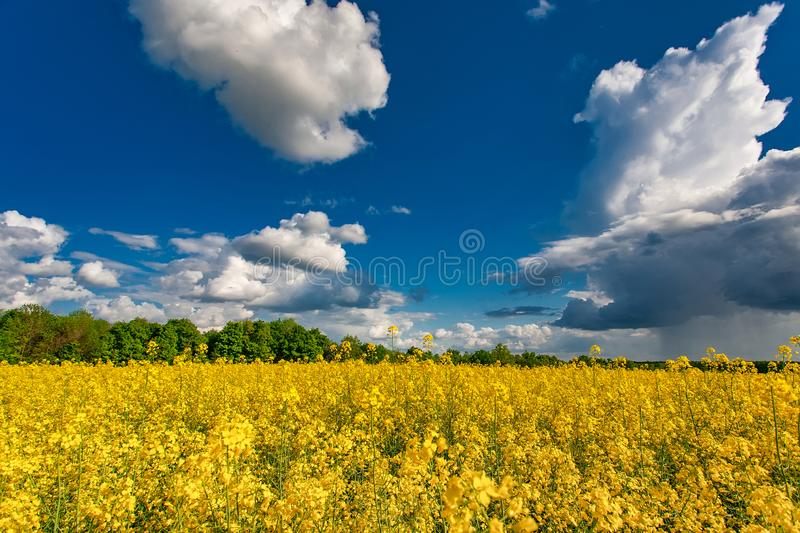 Blooming canola field. Rape on the field in summer. Bright Yellow rapeseed oil. Flowering rapeseed royalty free stock photography