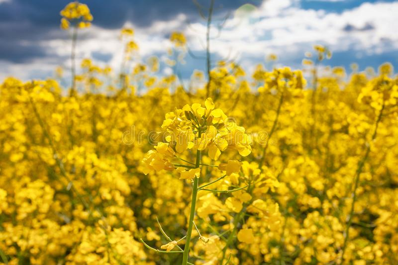 Blooming canola field. Rape on the field in summer. Bright Yellow rapeseed oil. Flowering rapeseed royalty free stock images