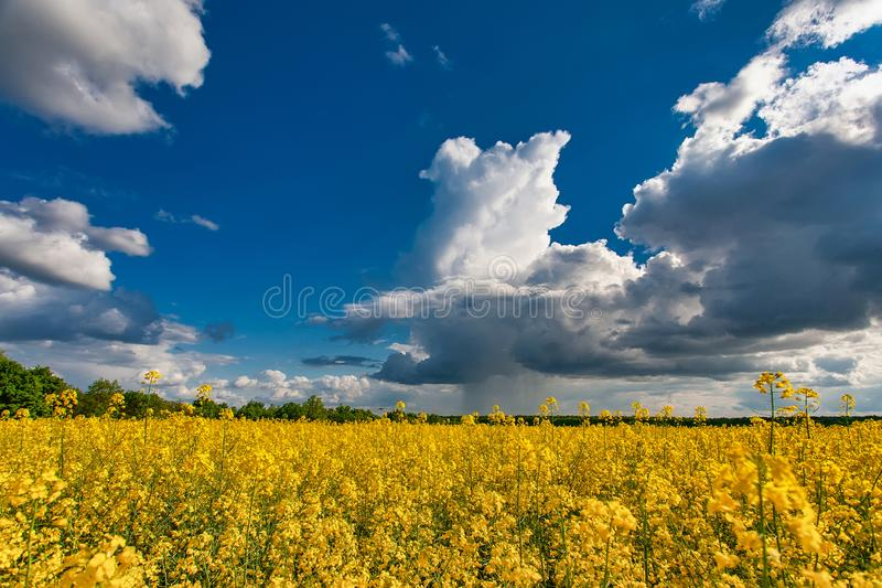 Blooming canola field. Rape on the field in summer. Bright Yellow rapeseed oil. Flowering rapeseed royalty free stock image