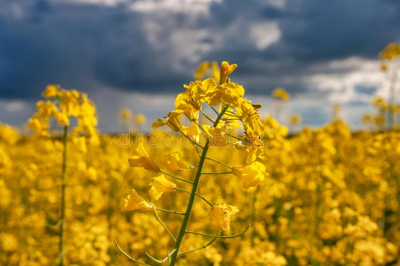 Blooming canola field. Rape on the field in summer. Bright Yellow rapeseed oil. Flowering rapeseed royalty free stock photos