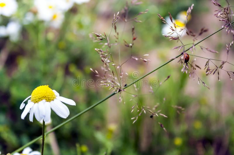 Blooming chamomile green field and a red ladybug stock images